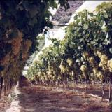 Archanes, grapes' cultivation