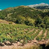 Achaia land is full of vineyards for the production, mostly, of wine & raisins